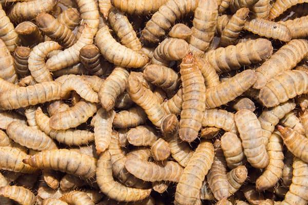 Живая личинкаЧерной львинки (Hermetia illucens)